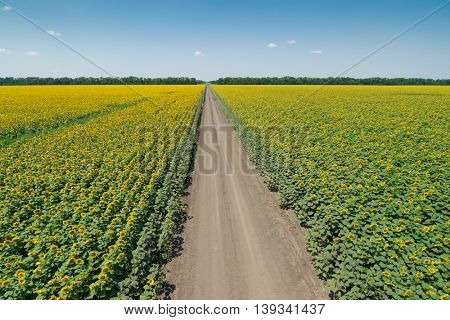 Large field of yellow sunflowers, road and sky on bright sunny summer day