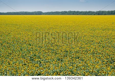 Large field of yellow sunflowers, trees on horizon and sky on bright sunny summer day