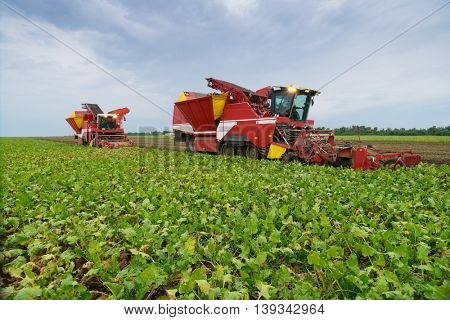 Two modern red combine harvesters harvest of sugar beet at summer evening