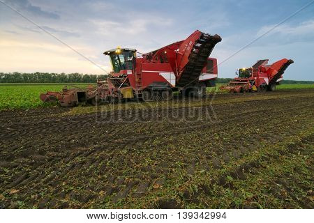 Two large red combine harvesters harvest of sugar beet at summer evening