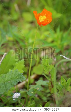 Iceland Poppy (papaver Nudicaule) With A Blossom