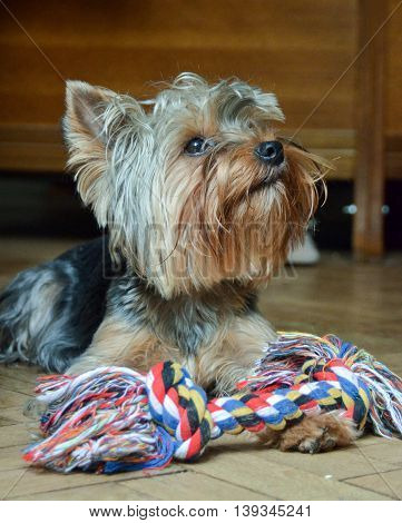 Yorkshire Terrier Jake home on vacation playing with a bone.