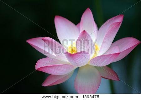 Flor de loto sobre fondo oscuro