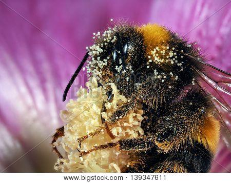 Huge Bumblebee In Flower. Macro. Shaggy Bumblebee, Pollen