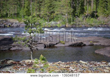 Stones And Spruce At The Swedish River Ammeraan