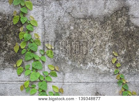 The Green Creeper Plant on old Wall