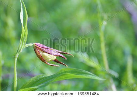 A Cypripedium calceolus a ladys slipper orchid.