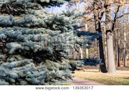 blue spruce in autumn park close up