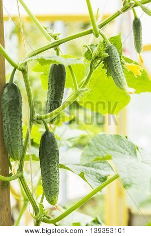 Small cucumber plant with flowers in greenhouse
