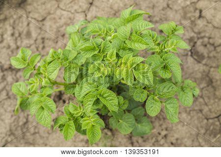 Potatoes bush. Potatoes leaves in garden, summer