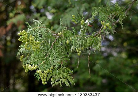 A thuja branch with the green cones