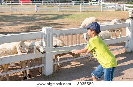 Little Asian cute boy Feeding a Sheep