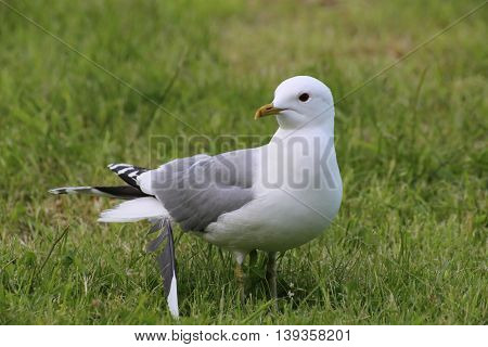 Common Gull (larus Canus) With A Loose Feather