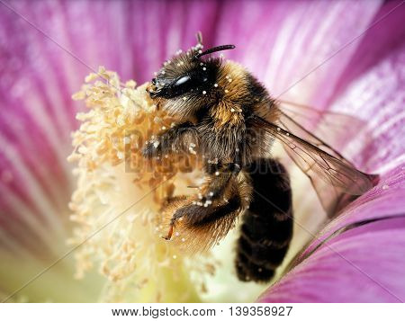 A bee collects nectar inside the flower mallow. Many pollen. macro