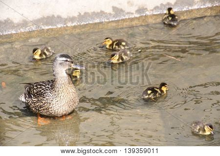 Mother Duck With Her Ducklings In Water