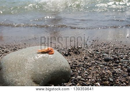 Boiled Shrimp On Pebble By The Sea