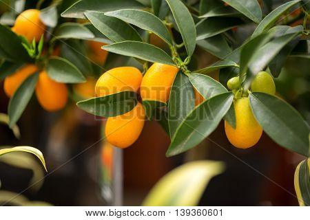Beautiful citrus kumquat in houseplants close up