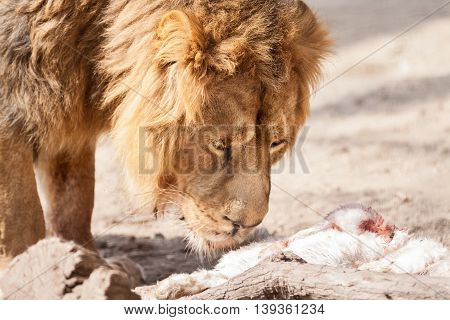 Male beautiful big lion with prey, close up