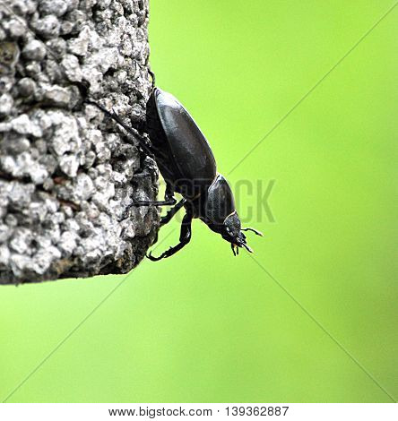 Detailed view of the beetle in nature - Stag