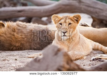 Young female lion lying in jungle, close up