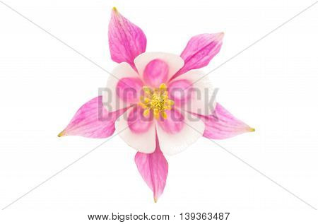 pink aquilegia flower isolated on white background