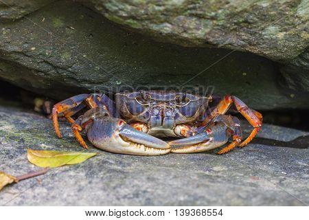 Fresh water crabCrab crustacean in rain forest
