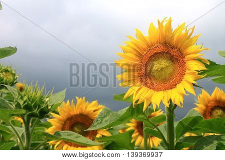 Sunflower field on a cloudy day. Field of sunflowers.