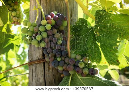Bunch of Napa California wine grapes changing colors during veraison. Clusters of red and green Syrah grapes hang on the vine in Napa Valley during véraison.