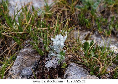 White beauty Edelweiss flower in nature of high mountain