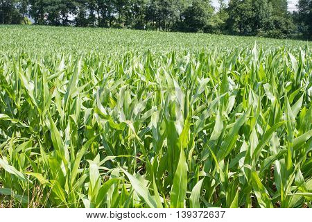 close up of young maize plants with forest