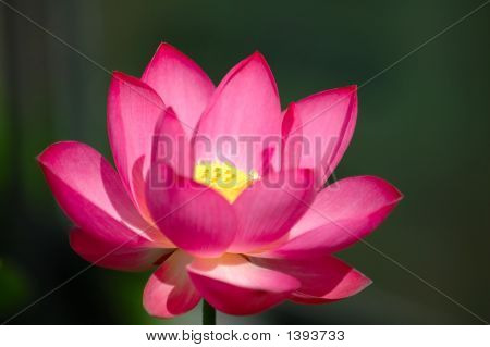 The Blooming Pink Lotus Flower