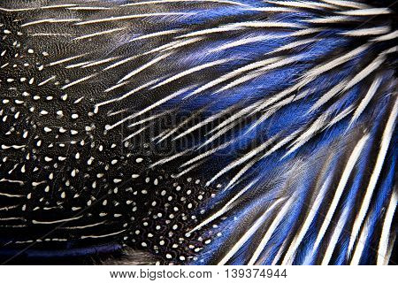 whith and blue coloured feathers of the pheasant. Picture can be used as a background