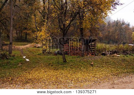 Autumn landscape of wood countryside life with firewood barn and white chicken