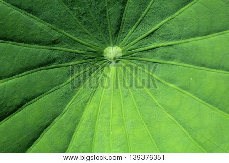 Motifs of lotus leaves are beautiful, I photographed this close-up .To see a particular pattern of leaves.