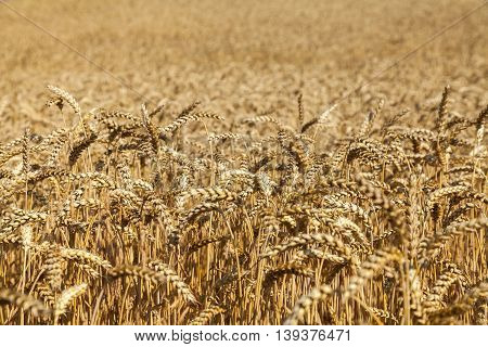 Spikes of ripe wheat ready for harvest