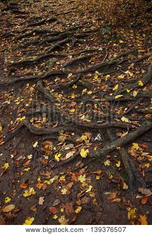 Spreading tree root system and fallen leaves on the ground. Top view
