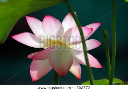 Lotus Flower Under Sun Light