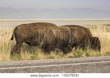 Two bison grazing by road near Great Salt Lake in Utah, USA.