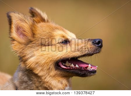 a little, cute dog shows his tongue