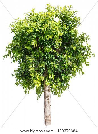 Ficus tree. File contains clipping paths.
