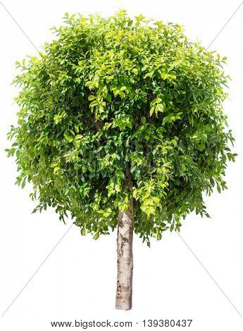 Ficus benjamina. File contains clipping paths.