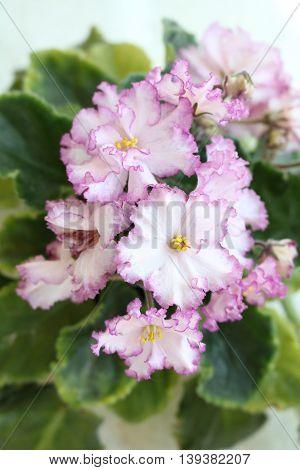 Saintpaulia (Saintpaulia) herbaceous flowering houseplants very common