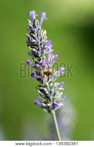 Macro photo about a bee on lavander on green background.