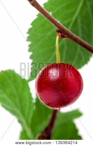one felted cherry on the branch isolated on white background.