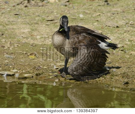 A Canada Goose (Branta Canadensis) that has become tangled in fishing line, disabled on a lakeshore.