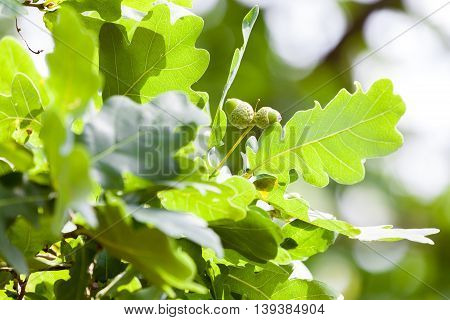 two acorns on an green, german oak