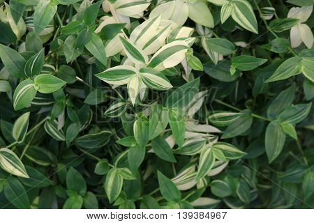 Tradescantia (Tradescantia) - perennial evergreen herbaceous plants popular houseplants