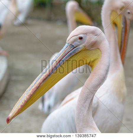 Beautiful Pelican Portrait. The Great White Pelican - Pelecanus Onocrotalus - Also Known As The East