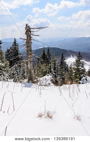 Panoramic Vertical View With Snow Covered Trees. Landscape Of Snow-covered Trees On A Mountain Trail