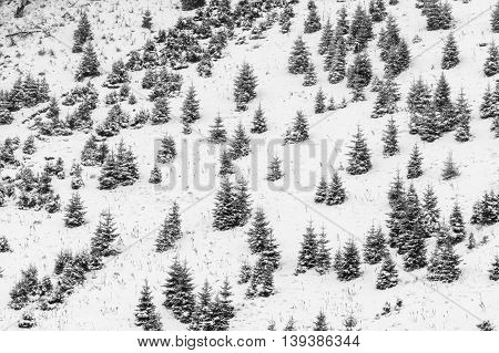 Background With Snow Covered Little Trees. Texture Of Snow-covered Little Green Trees Over Mountain.